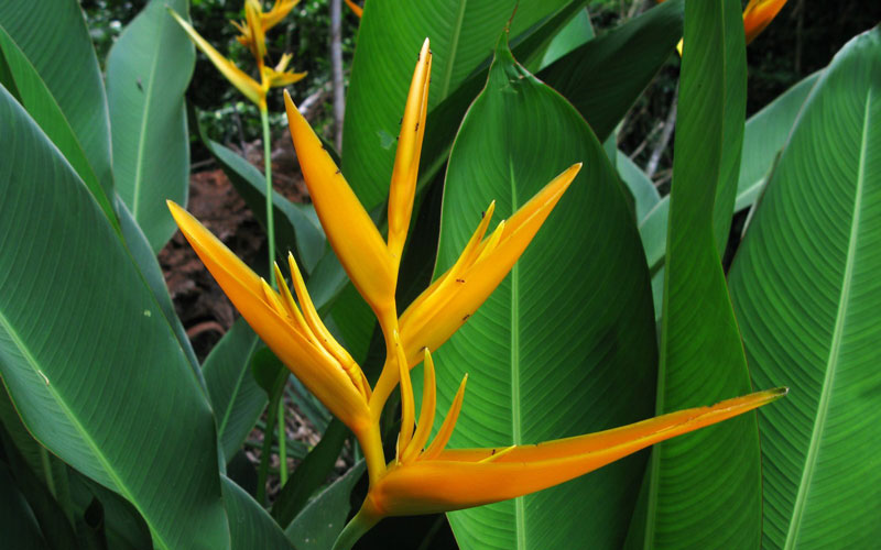 Heliconia Psittacorum Golden Torch