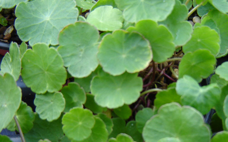 Hydrocytele Vulgaris(Water Pennywort)