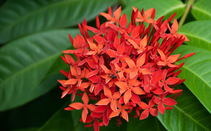 Ixora Duffy Red