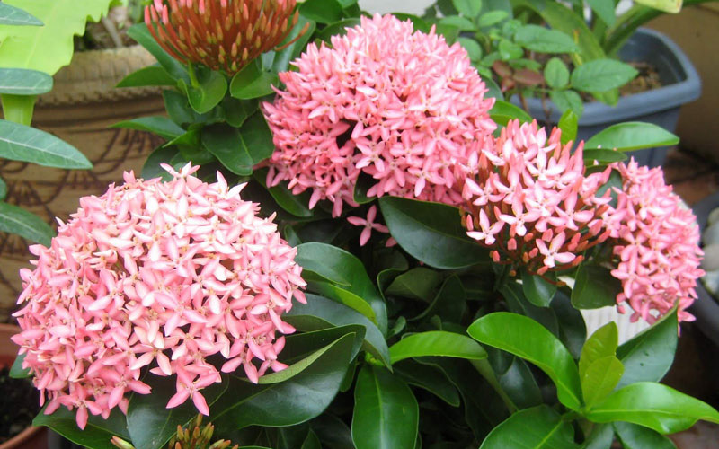 Ixora Orange Mini